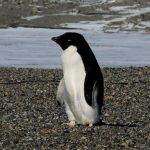 Scientists alarmed by mass Antarctic penguin chicks die-off