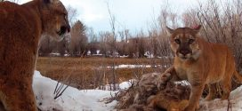Study finds Pumas exhibiting behavior like social animals