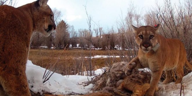 Study finds Pumas exhibiting behavior like social animals
