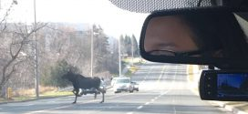 Moose on the loose near Buttonville airport (Photo)