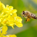 Pesticides stop bees buzzing and releasing pollen, says new research