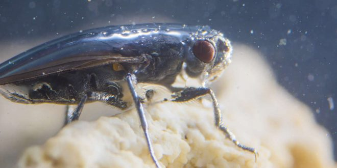 Researchers Solve the Mystery of America's Scuba-diving Fly