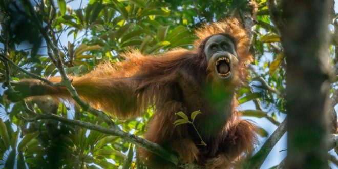 Newly discovered Sumatra orangutan species is already endangered
