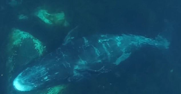 Drone video provides fascinating glimpse of exfoliating whales