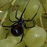 Black widows grapes