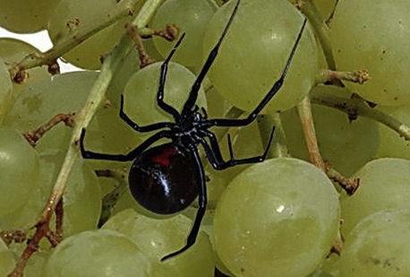 Black Widows in Grapes : Giant customer finds spider in produce
