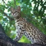 New wild cat species found in Brazil