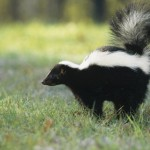 Nuisance skunks in Buffalo were trapped and killed by city officials