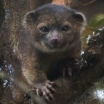 Adorable Olinguito is first carnivore found in Western Hemisphere in 35 years