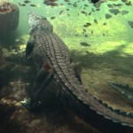 Boy, 12, taken by crocodile in Australia