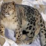 Endangered snow leopards spotted in Uzbekistan
