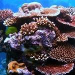 Corals Adjust Quickly To Rising Ocean Temperatures, research says