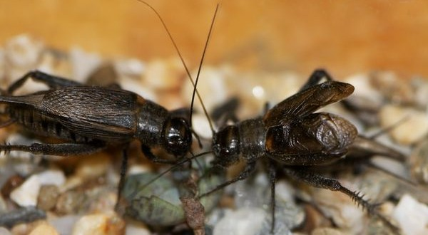 Rapid Convergent Evolution in Wild Crickets, Study