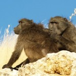 Baboons groom more powerful mates for favours, Study