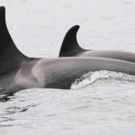 Vancouver : Here's your chance to name a baby orca