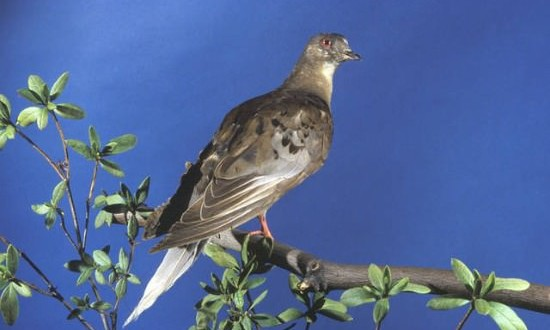 About Martha, the last of the passenger pigeons, Report