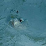 Antarctic Fish Possess Antifreeze and Anti-Melt Proteins, New Study