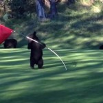 Bear spins in circles on golf course