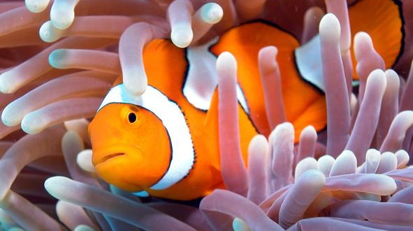 Clownfish can swim 400km to find new home, New Study