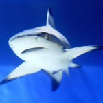 Greater protection for threatened shark, Report