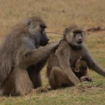 Lady Baboons With Guy Pals Live Longer, Study