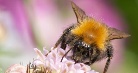 Tree bee spreading thanks to thistles, New Study