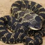 UTRCA Biologist Looking for Harmless Hog-nosed Snake