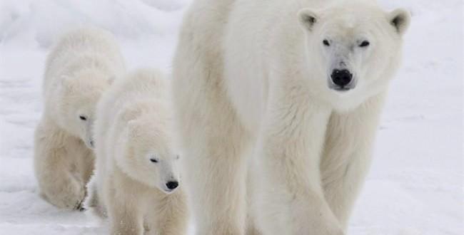 Arctic habitat fear for polar bears, new study says