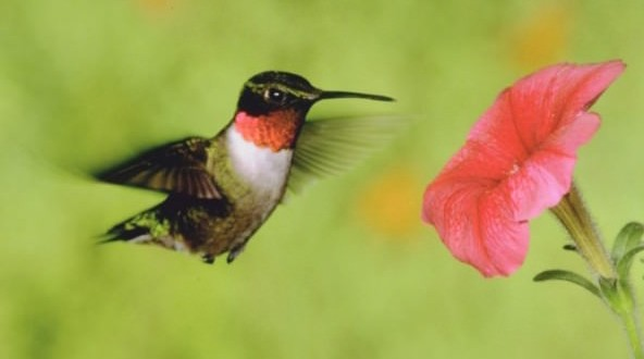 Scientists find fault in hummingbirds' hovering abilities