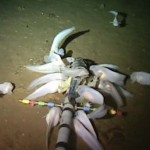 World's Deepest Fish - Video : Aberdeen University sets record for deepest fish