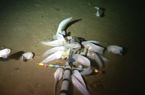World's Deepest Fish – Video : Aberdeen University sets record for deepest fish