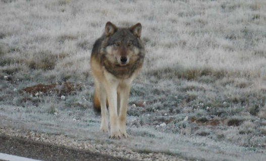 Grand Canyon wolf was shot and killed in December, officials say