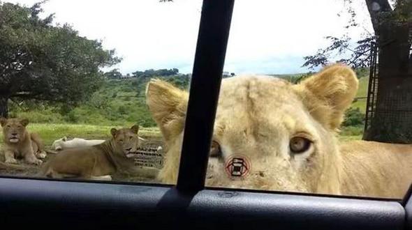 Lion Opens Car Door Terrifying Family! (Viral video)