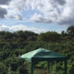 Cannabis 'forest' discovered in London