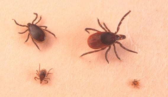 Lyme disease risk area growing in Manitoba, 11 cases in 2015