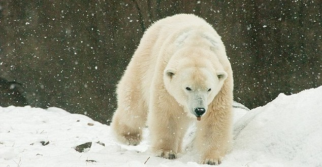 "Klondike: ""Oldest polar bear"" in U.S. dies at Philadelphia Zoo"
