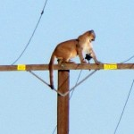 Rare Photo shows mountain lion perched atop telephone pole