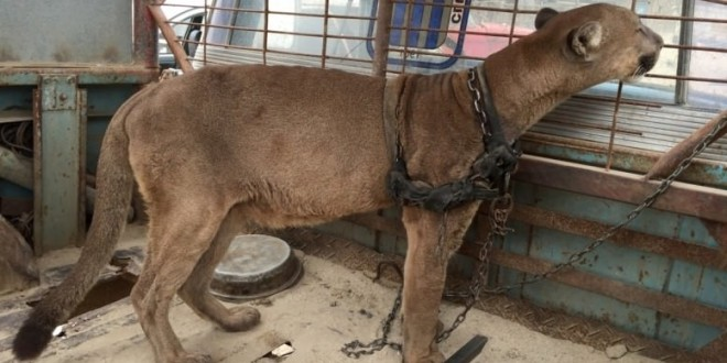 """Mountain Lion Freed After 20 YEARS in cruel Peruvian travelling circus """"Video"""""""