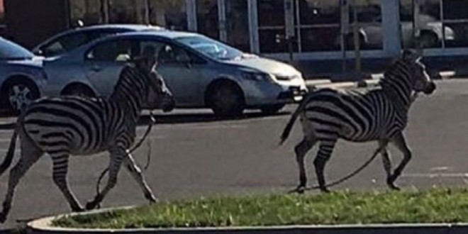 Zebras escape circus, run through the streets of Philadelphia 'Video'