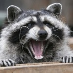 A fifth case of raccoon rabies in Hamilton area