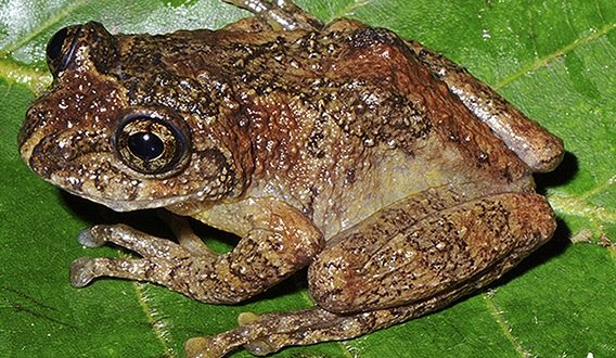 'Extinct' tree frog rediscovered in India after 137 years, says new Research