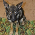 Luna: German shepherd-husky thought lost at sea found five weeks later