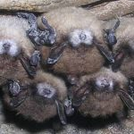 Deadly fungus a concern for bats, Report