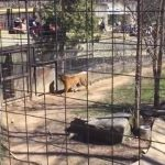 Woman hops tiger fence at Toronto Zoo for hat (Video)