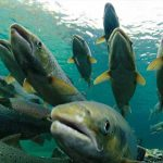 Study finds disease in BC farmed salmon