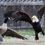 Eagle and Canada goose battle caught on camera (Video)