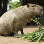 One of two fugitive capybaras caught