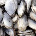 Research finds contagious cancers can spread among several species of shellfish