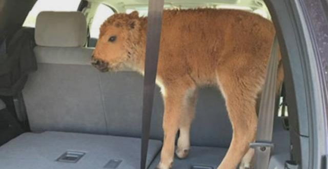 Tourist who put Yellowstone bison calf in SUV gets probation