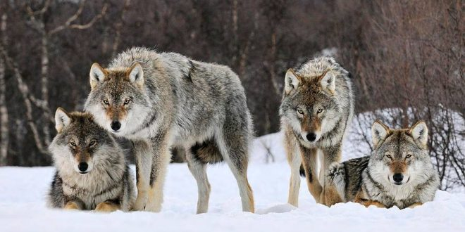 Wolf warning issued for Banff National Park, Report